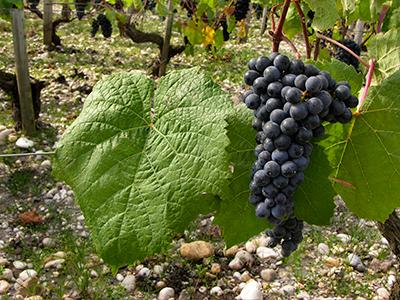 Bordeaux druiven